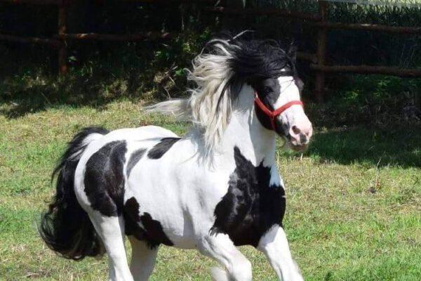 Konie Huculskie Płock